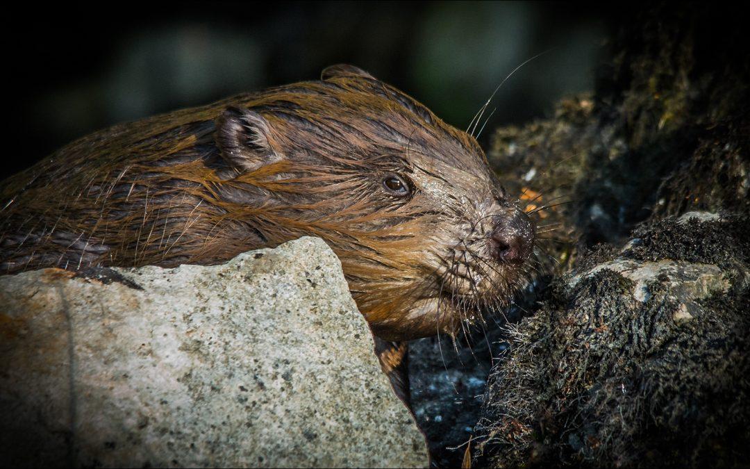 Portrait d'un Castor – Approche en Photographie Animalière
