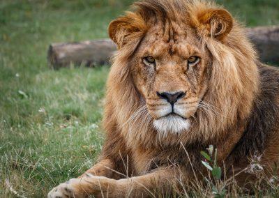 Pairi Daisa - Lion